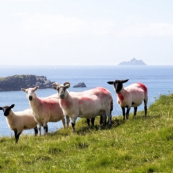 Day Tour on Ring-of-Kerry - Sheep