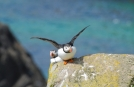 Puffin on Coastal Eco Tour of Ireland