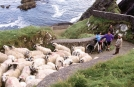 Moutons au Port de Ventry, Pninsule de Dingle