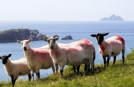 Sheep on Peninsula